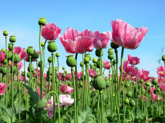 poppy-1573061_960_720